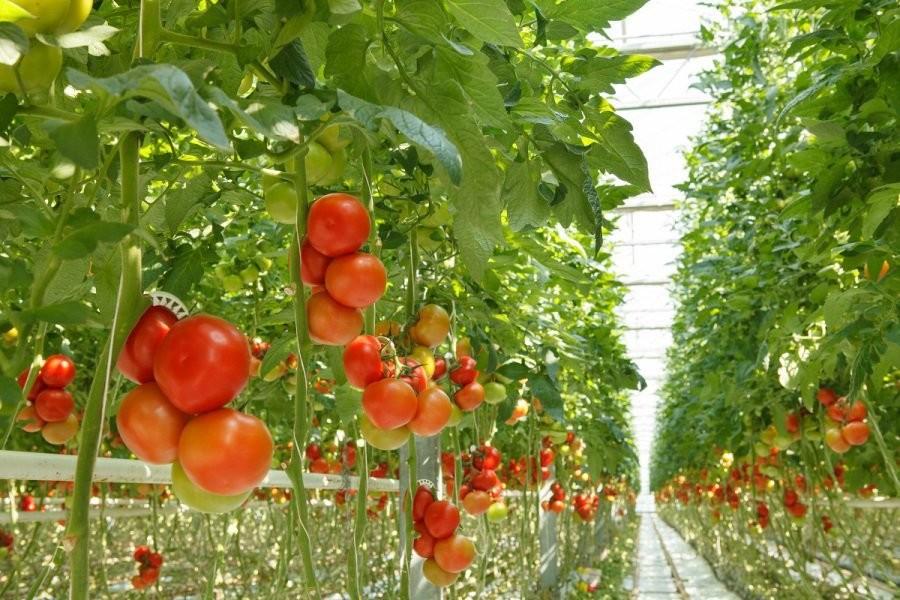 los tomates y fisiomuro